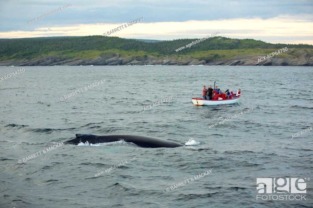 Stock Photo: Whale watching, Humpback Whale, (Megaptera novaeangliae, Witless Bay Ecological Reserve, Newfoundland, Canada.
