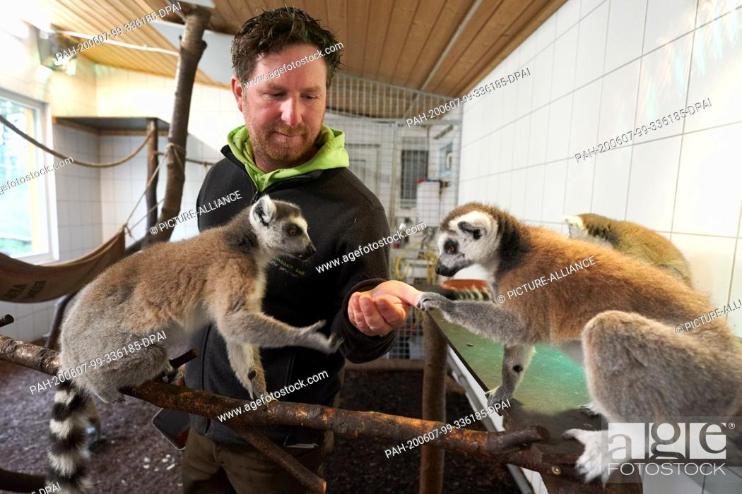 Stock Photo: 04 June 2020, Rhineland-Palatinate, Bell: Zoo director Remo Müller feeds the rattas in their indoor enclosure at the Bell Animal Adventure Park.