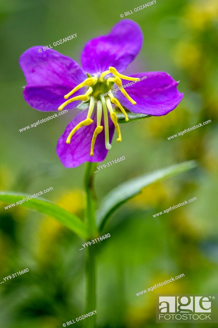 Stock Photo: Virginia Meadow Beauty Flower (Shallow Depth-of-Field) - DuPont State Recreational Forest, near Brevard, North Carolina, USA.