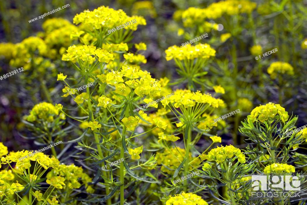 Stock Photo: cypress spurge (Euphorbia cyparissias), bloming, Germany.