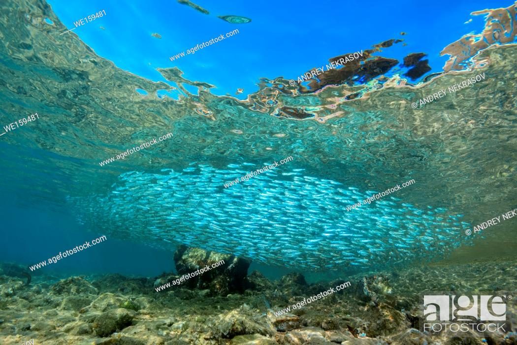 Stock Photo: Massive school of fish in shallow water.