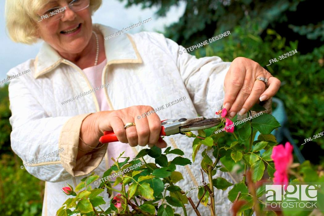 Woman Trimming Roses In Garden Stock Photo Picture And Rights