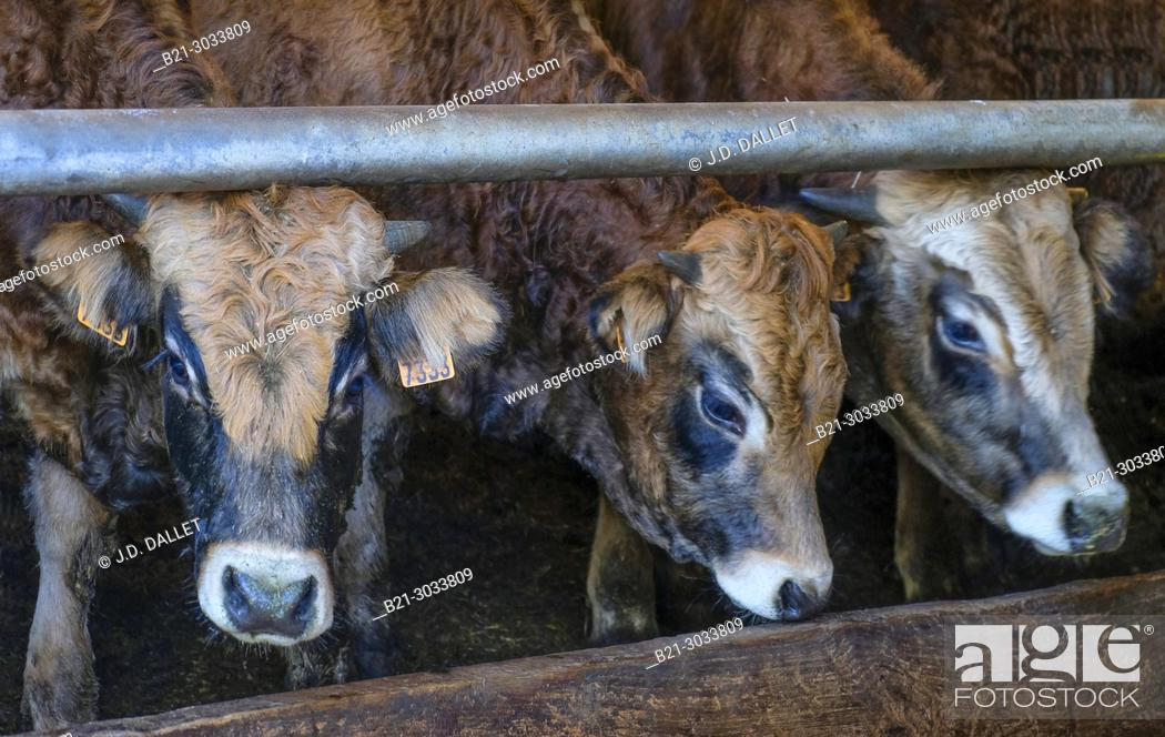 Stock Photo: France, Auvergne, Cantal, calves on a farm at Germés, by Maurs. Dordogne river surrounding.