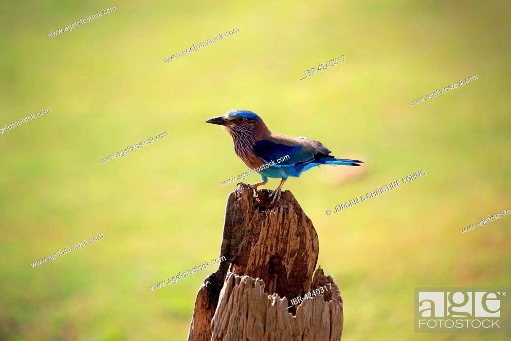 Photo de stock: Indian roller (Coracias benghalensis), adult on the lookout, on an old tree trunk, Udawalawe National Park, Sri Lanka.
