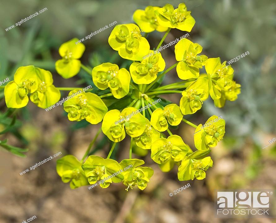 Stock Photo: Cypress spurge Euphorbia cyparissias.