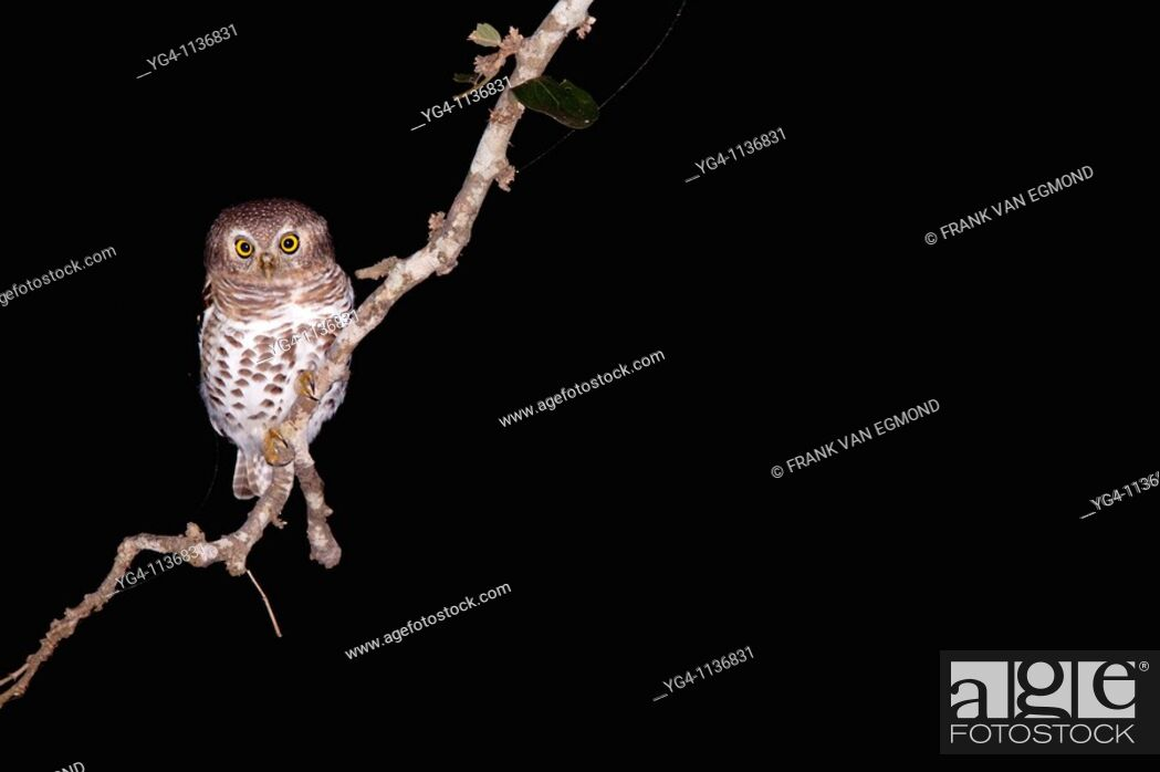 Stock Photo: African Barred Owlet Glaucidium Capense  At night  June 2009, winter  Balule Private Nature Reserve, York section  Greater Kruger National Park, Limpopo.