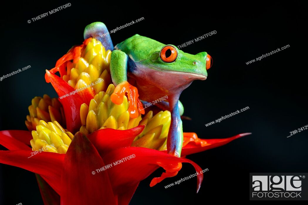 Stock Photo: Agalychnis callidryas. Red eyed tree frog on a Guzmania flower. Costa Rica.