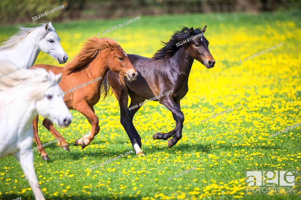 Stock Photo: Welsh Pony (Section B). Gray mares, weaner (German Riding Pony) and chestnut mare galloping on a pasture. Germany.