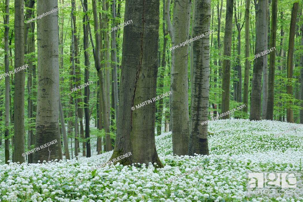 Stock Photo: Ramsons (Allium ursinum) in beech (fagus sylvatica) forest, spring with lush green foliage. Hainich National Park, Thuringia, Germany.