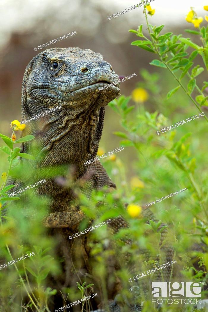 Stock Photo: Indonesia, East Nusa Tenggara, Komodo Island, Komodo National Park listed as World Heritage by UNESCO, Komodo Dragon (Varanus komodoensis) in the high grass.