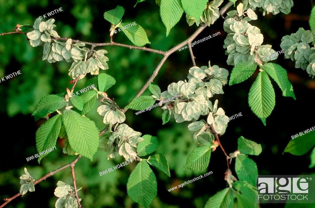 Stock Photo: Scotch elm, wych elm Ulmus glabra, Ulmus scabra, branch with fruis, Germany.