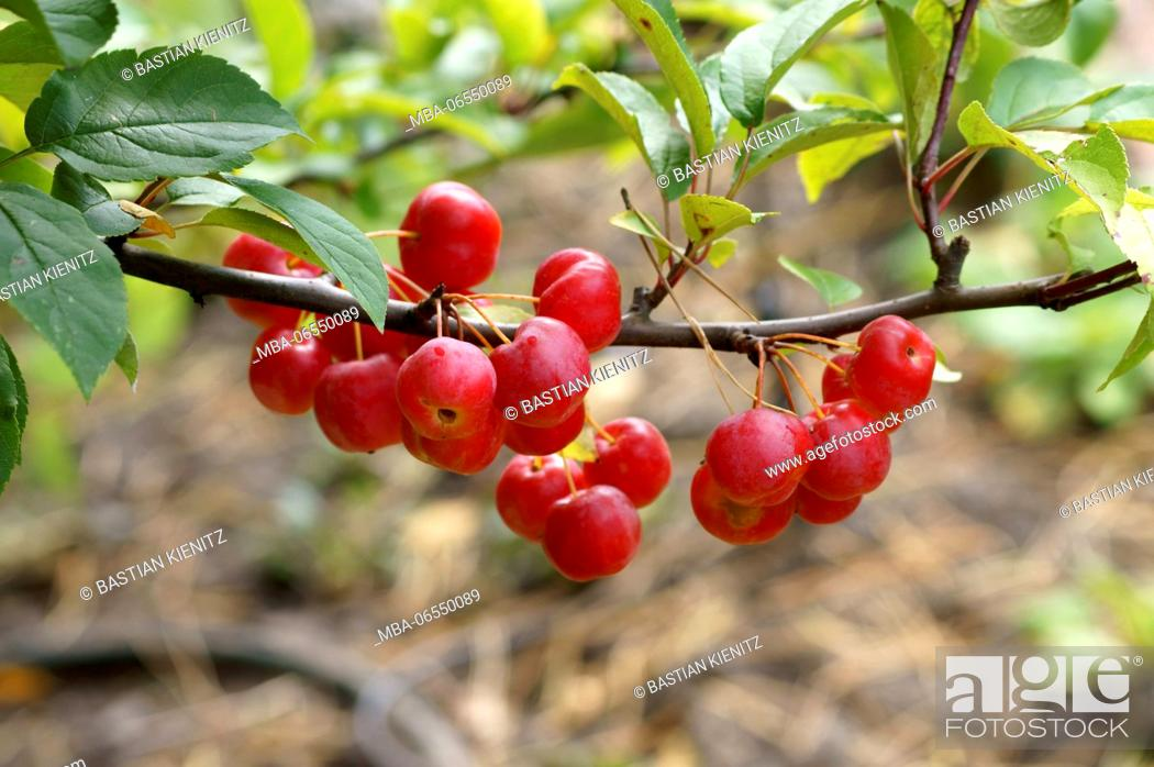 Stock Photo: Close-up of red, fresh and brilliant ornamental apples on the twig of a young tree,.