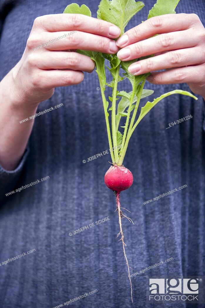 Imagen: A woman gardener holding a freshly picked single radish by the leaves in front of her sweater.