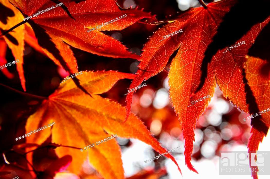Stock Photo: Orange leaves.