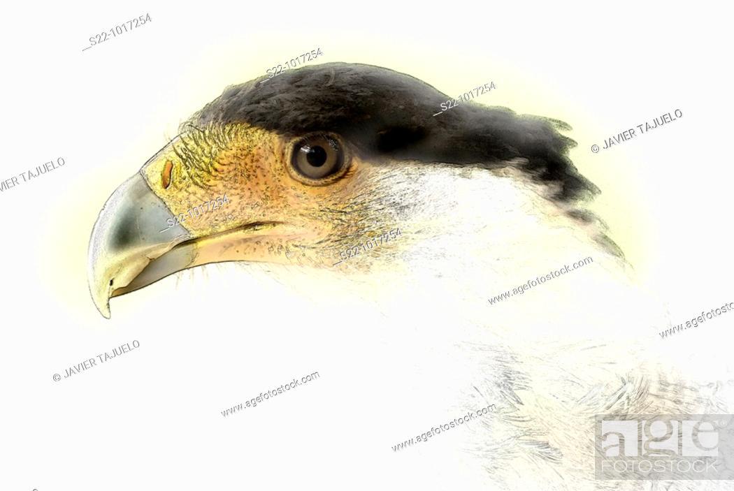 Stock Photo: Crested Caracara, Caracara plancus.