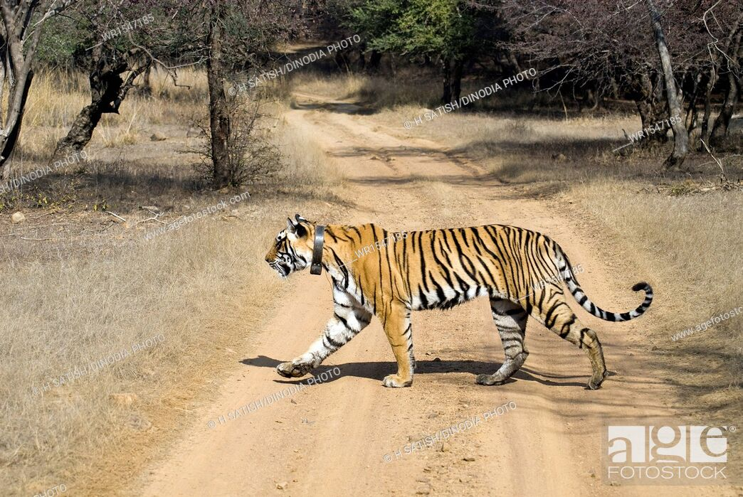 Imagen: tiger crossing road in Ranthambore national park Rajasthan India Asia.