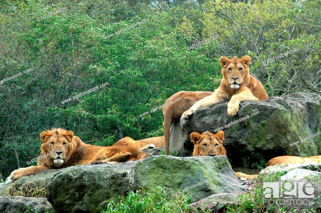 Stock Photo: Lions.