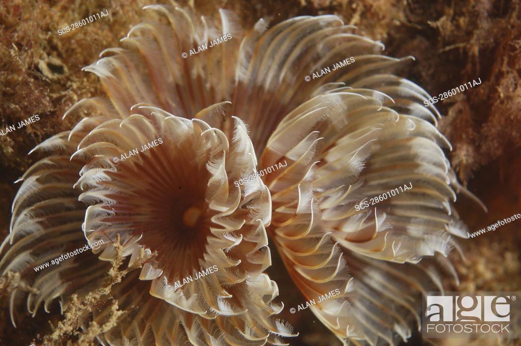 Stock Photo: Feather Duster Worm Species unknown Babbacombe, Torquay, South Devon, UK RR.