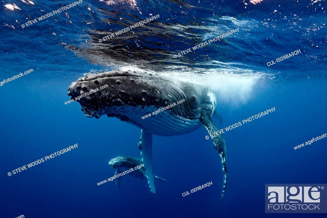 Stock Photo: Humpback whale (Megaptera novaeangliae) and calf in the waters of Tonga.