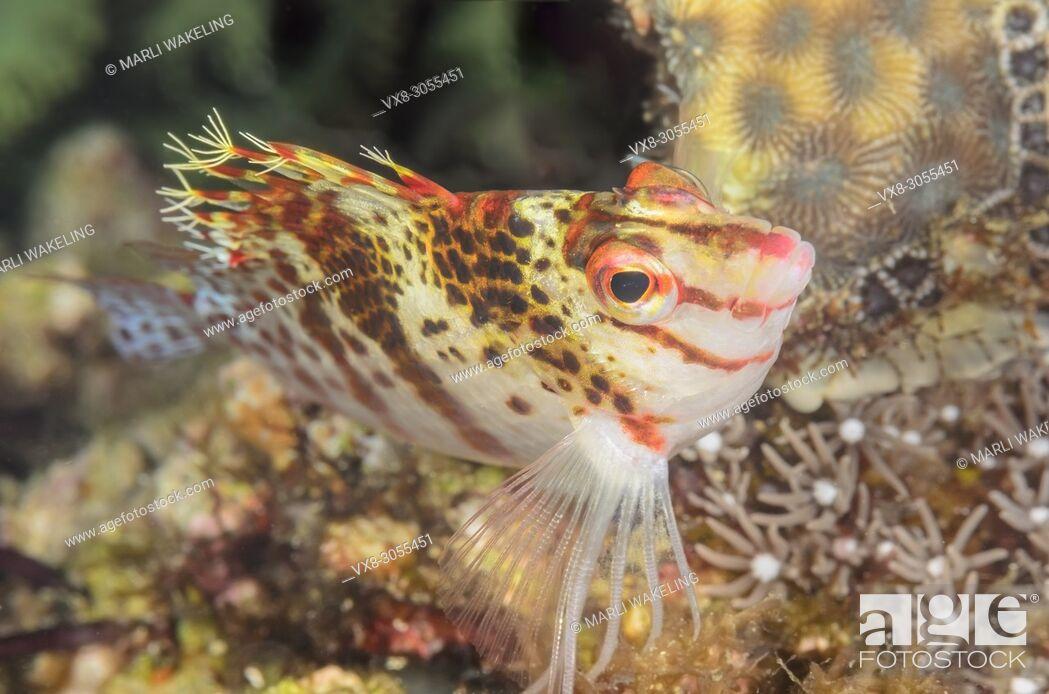 Stock Photo: Dwarf hawkfish, Cirrhitichthys falco, Anilao, Batangas, Philippines, Pacific.