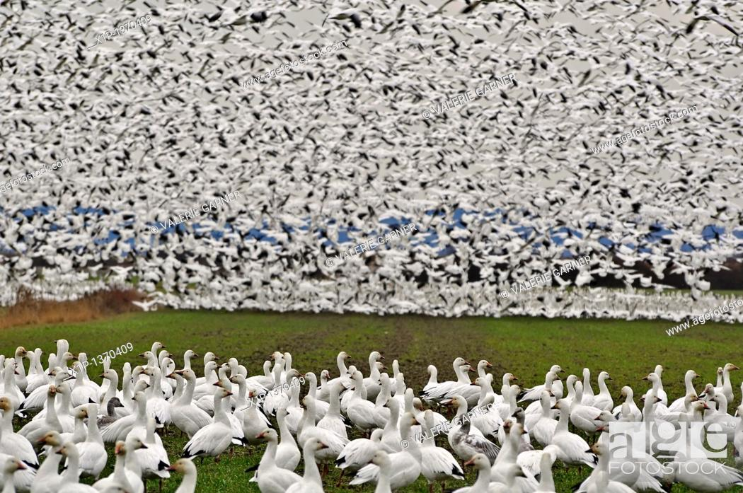 Stock Photo: This is a flock of wild snow geese on Fir Island in Skagit County, Washington a known migrating place  This flock is literally thousands.