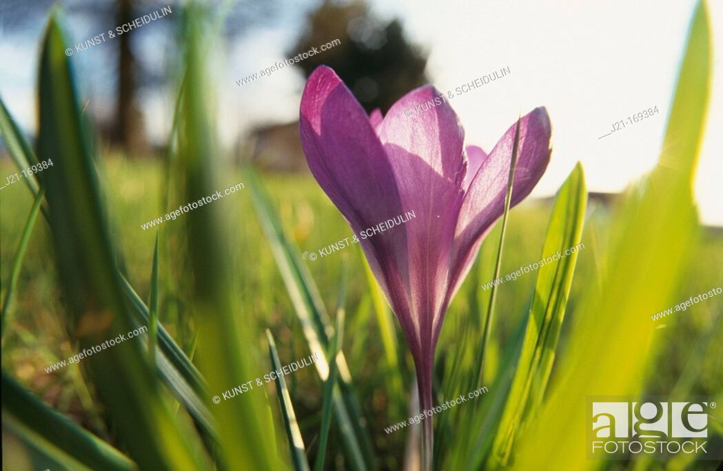 Stock Photo: Crocus (Crocus sp.). Germany.