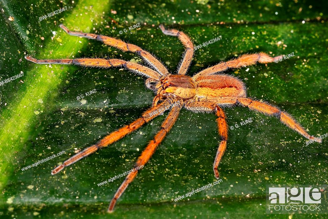 Stock Photo Wandering Spider Banana Cupiennius Getazi Female Sitting On A Leaf View From Above Costa Rica