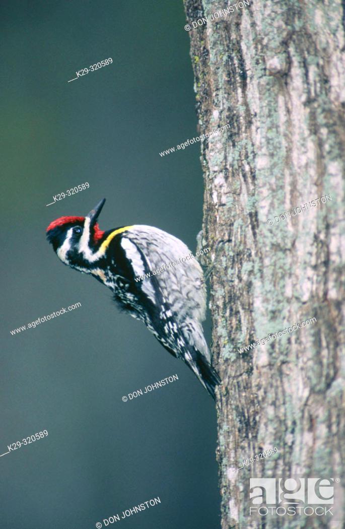 Stock Photo: Yellow bellied Sapsucker (Sphyrapicus varius). Male on mature maple tree. Manitoulin Island. Ontario. Canada.