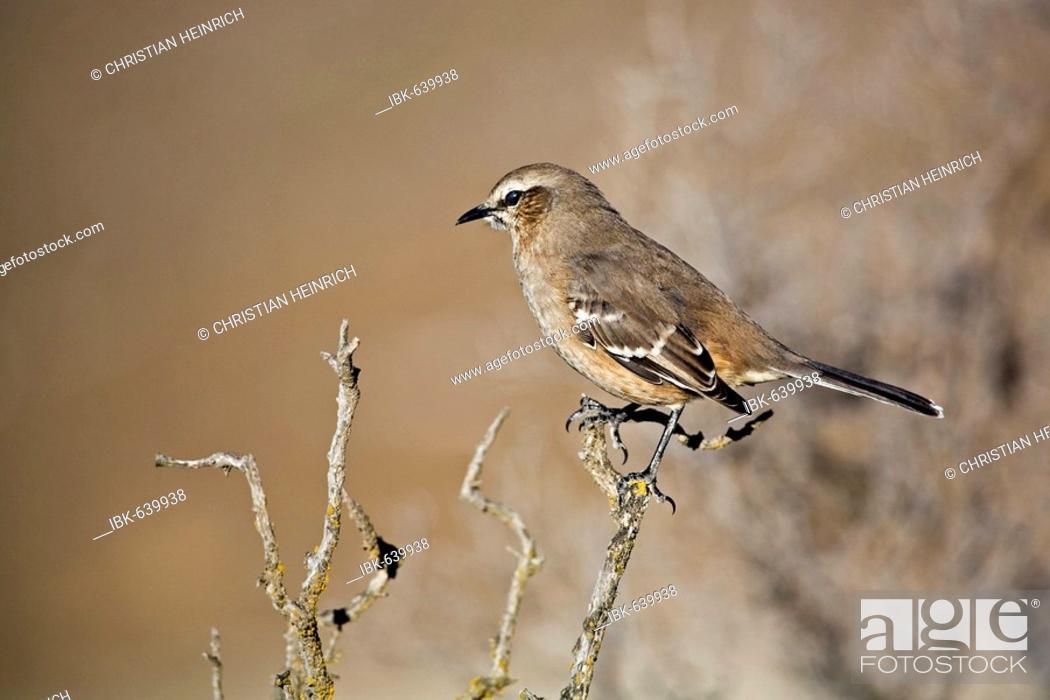 Imagen: Chalk-browed Mockingbird (Mimus saturninus), peninsula Valdes, Patagonia, east coast, Atlantic Ozean, Argentina, South America.