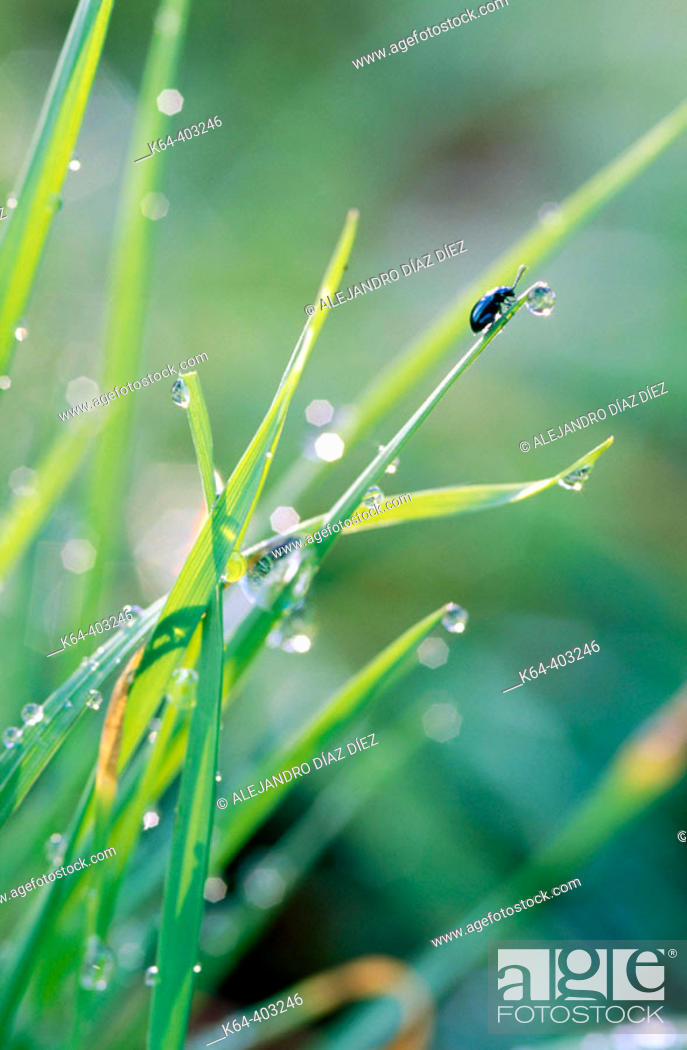 Stock Photo: Dewdrops on grass and beetle.