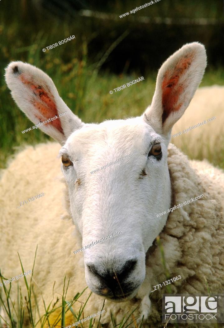 Stock Photo: Ireland, County Kerry, sheep,.