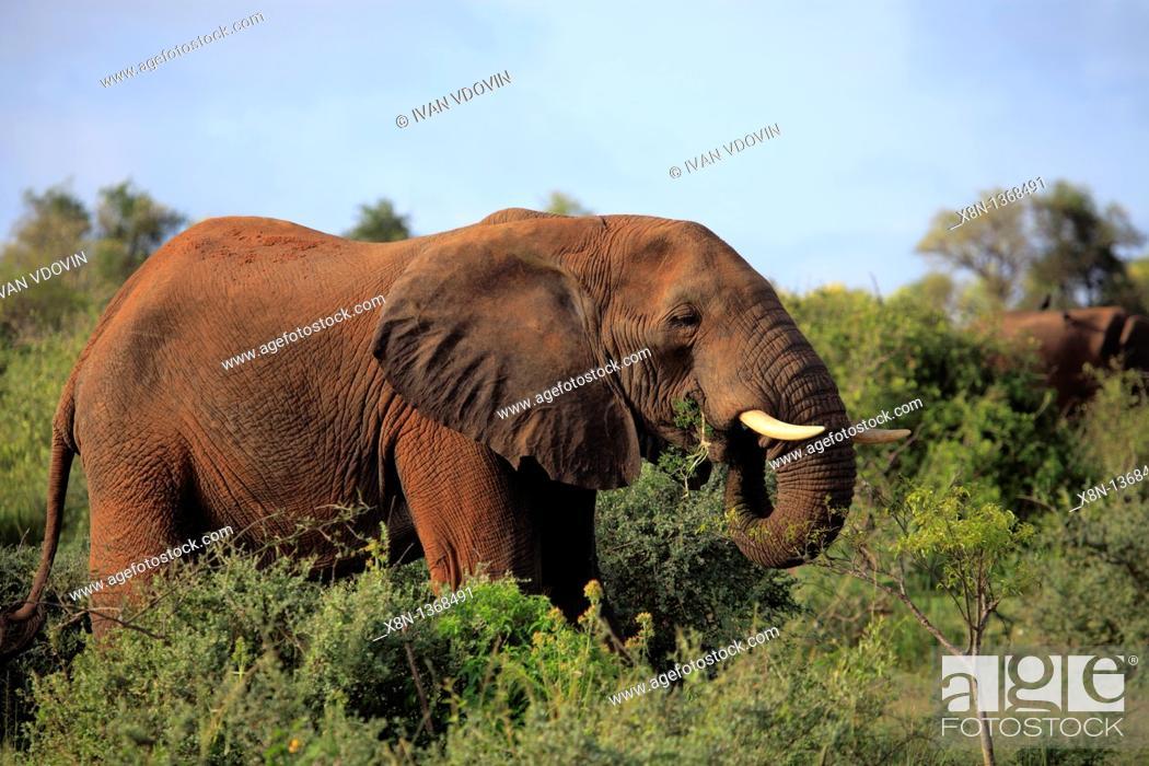 Stock Photo: African Elephant Loxodonta africana, Murchison Falls national park, Uganda, East Africa.