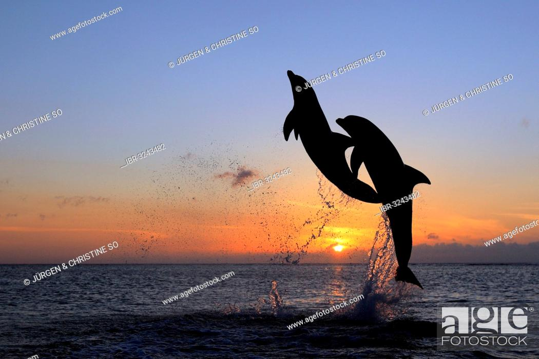 Stock Photo: Bottlenose Dolphin (Tursiops truncatus), two dolphins leaping out of the water at sunset, captive.