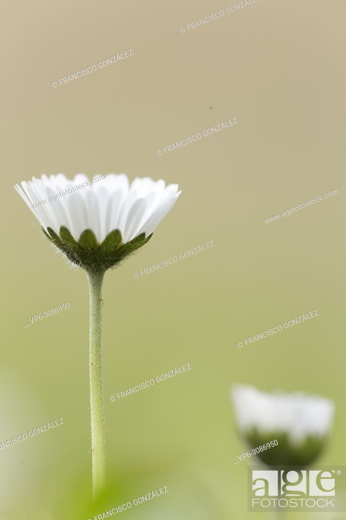 Stock Photo: Bellis perennis, commonly called chiribita, common daisy, pascueta or velvet. Vertical shot with natural light.