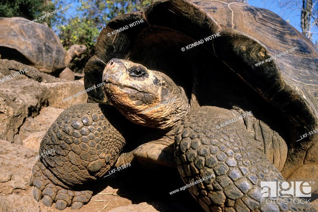 Stock Photo: Galapagos Giant Tortoises, Chelonoidis nigra, Santa Cruz Island, Galapagos Islands, Ecuador, South America.