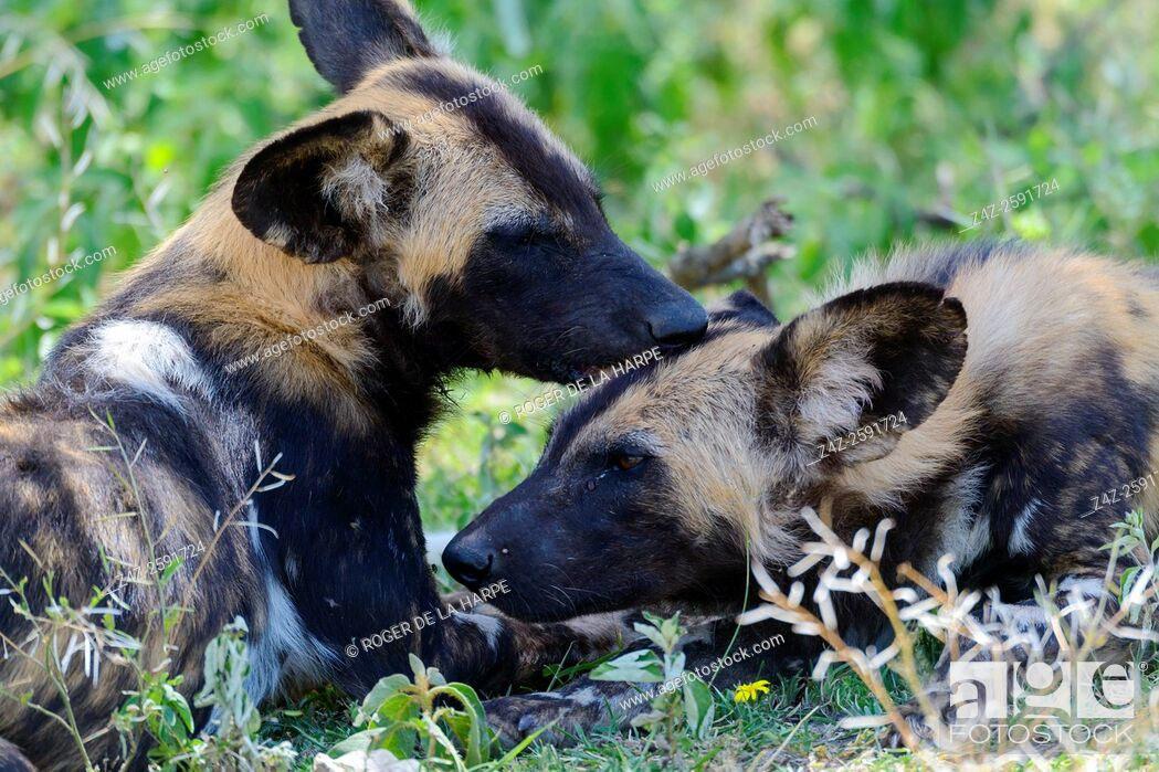 Imagen: East African wild dog (Lycaon pictus lupinus) grooming each other. Ngorongoro Conservation Area (NCA). Tanzania.