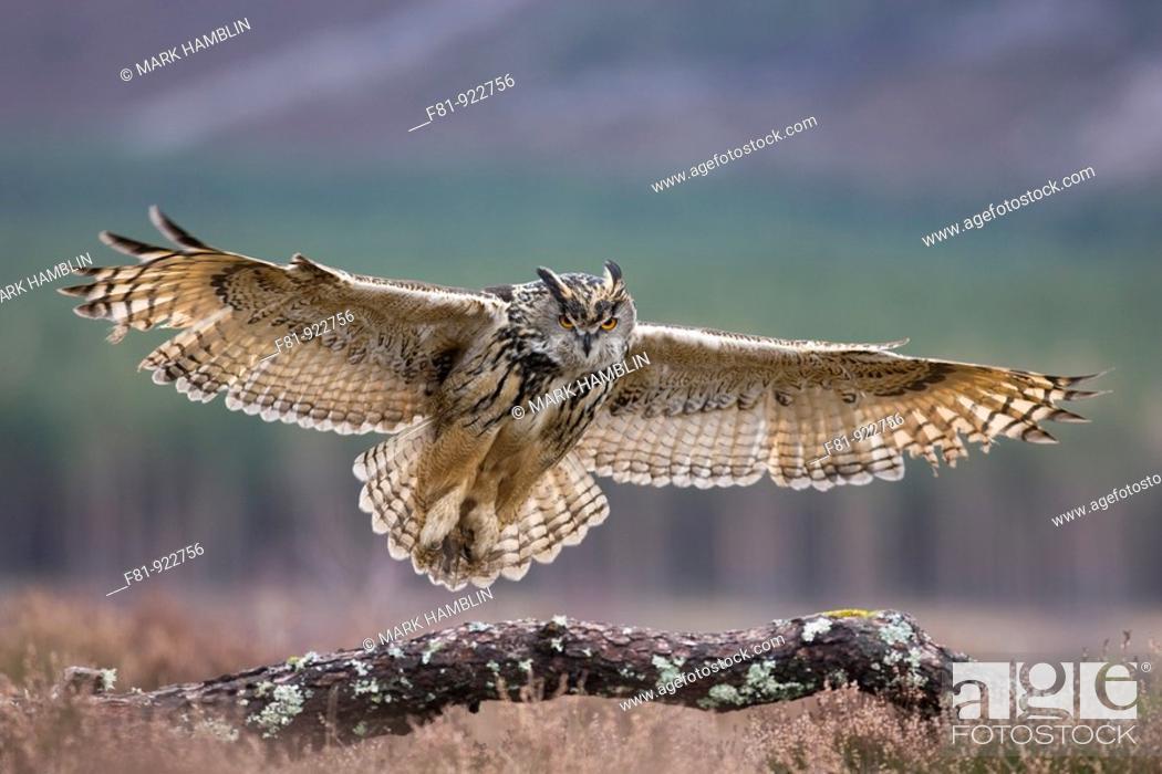 Stock Photo: Eagle owl Bubo bubo in flight alighting onto branch captive-bred  Scotland  March 2008.