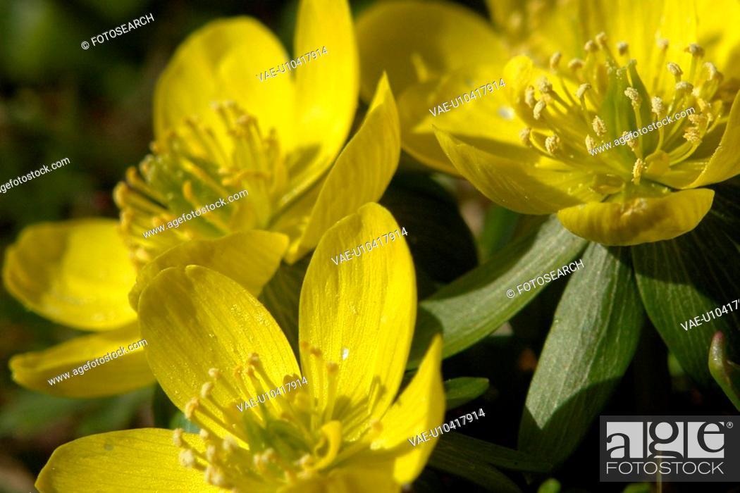 Stock Photo: gemeiner, hahnenfussgewaechse, aroma, berne, blattform, blooms, blumenstaengel.