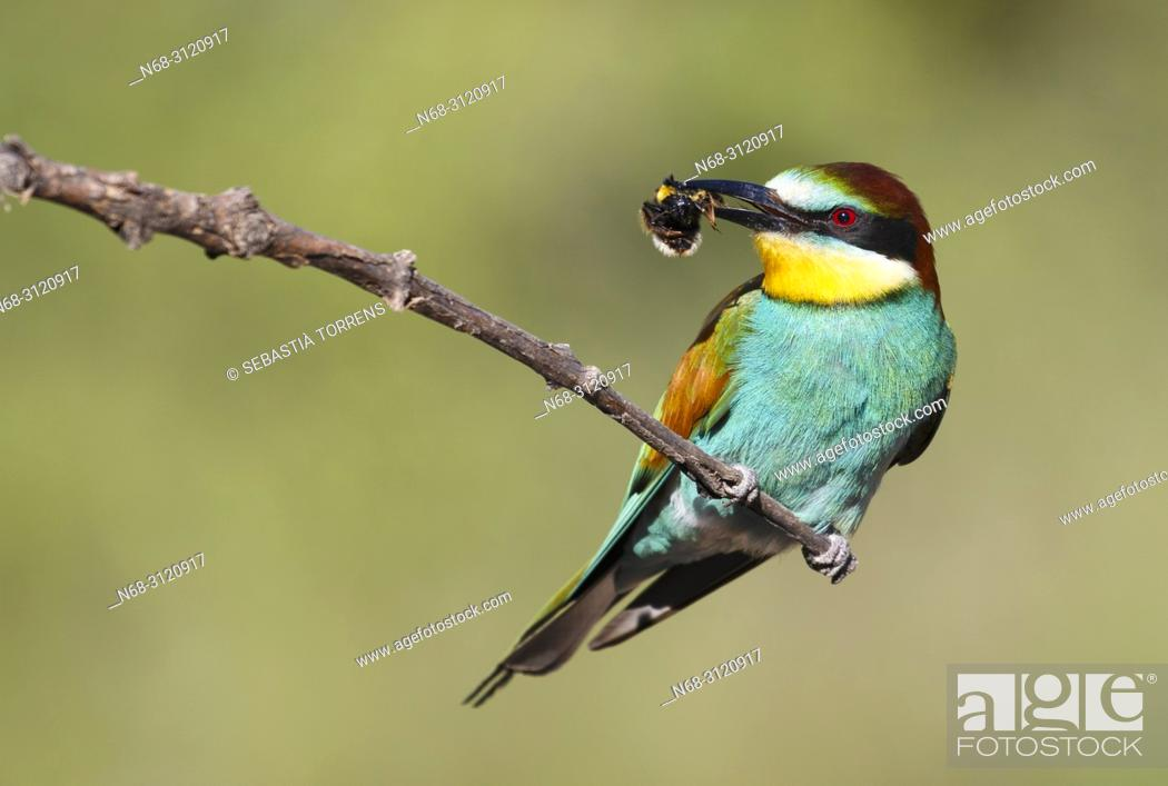 Stock Photo: European bee-eater (Merops apiaster) with prey, Santa Margalida, Majorca, Balearic Islands, Spain.