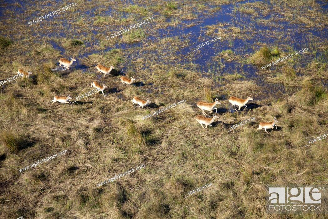 Imagen: Red Lechwe (Kobus leche), running in the floodplain, aerial view. Okavango Delta, Moremi Game Reserve, Botswana. The Okavango Delta is home to a rich array of.