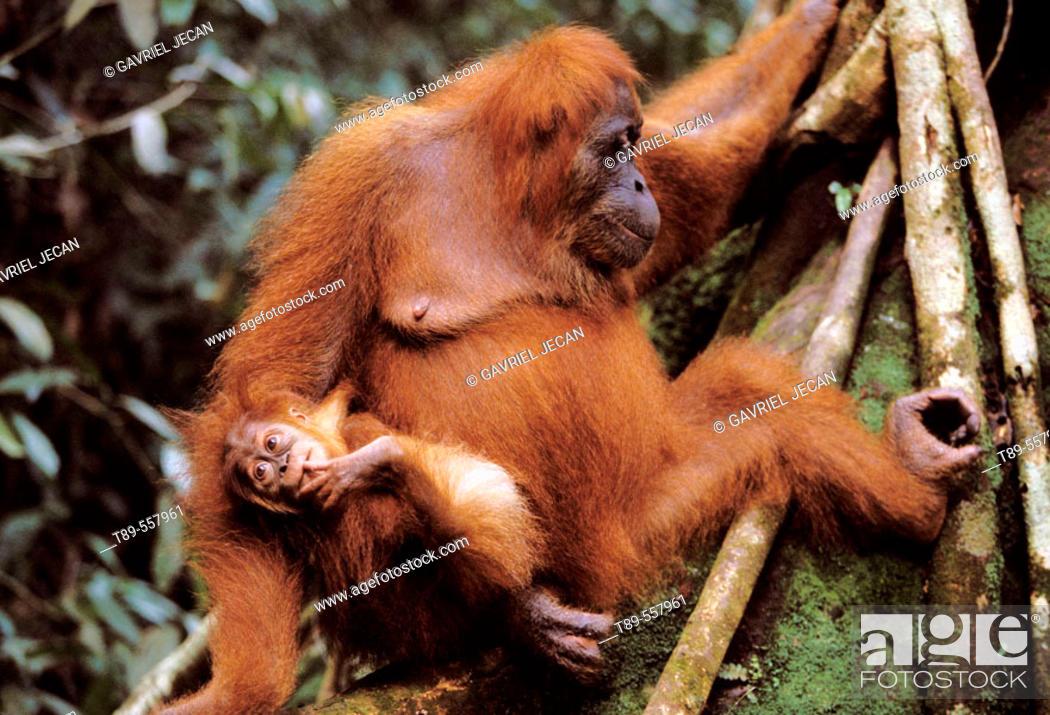 Stock Photo: Asia, Indonesia, Sumatra, Orangutan (Pongo Pygmaeus).