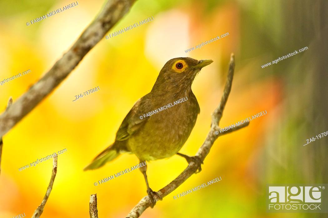 Imagen: Bare-eyed Thrush (Turdus nudigenis) in the Rainforest, Northern Venezuela.