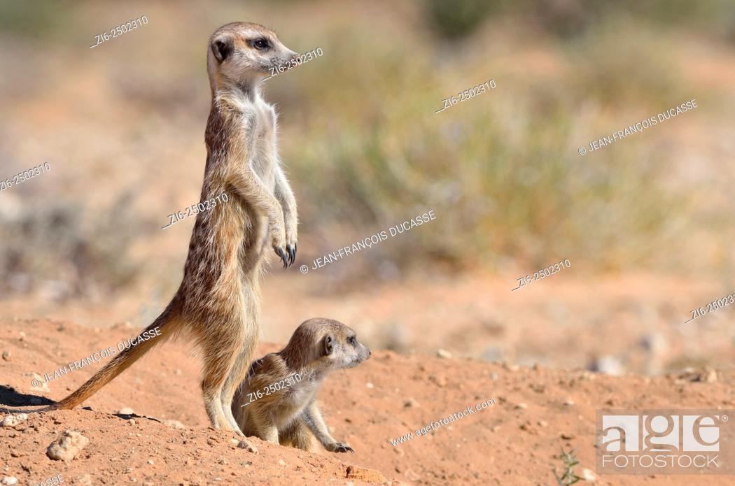 Stock Photo: Meerkats (Suricata suricatta), adult male upstanding, attentive, with a baby, at the burrow entrance, Kgalagadi Transfrontier Park, Northern Cape, South Africa.