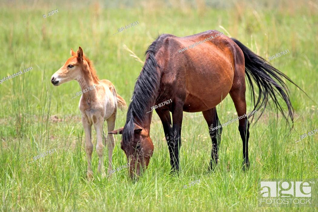 Stock Photo: Horse (Equus), adult, female with foal, South Africa, Africa.