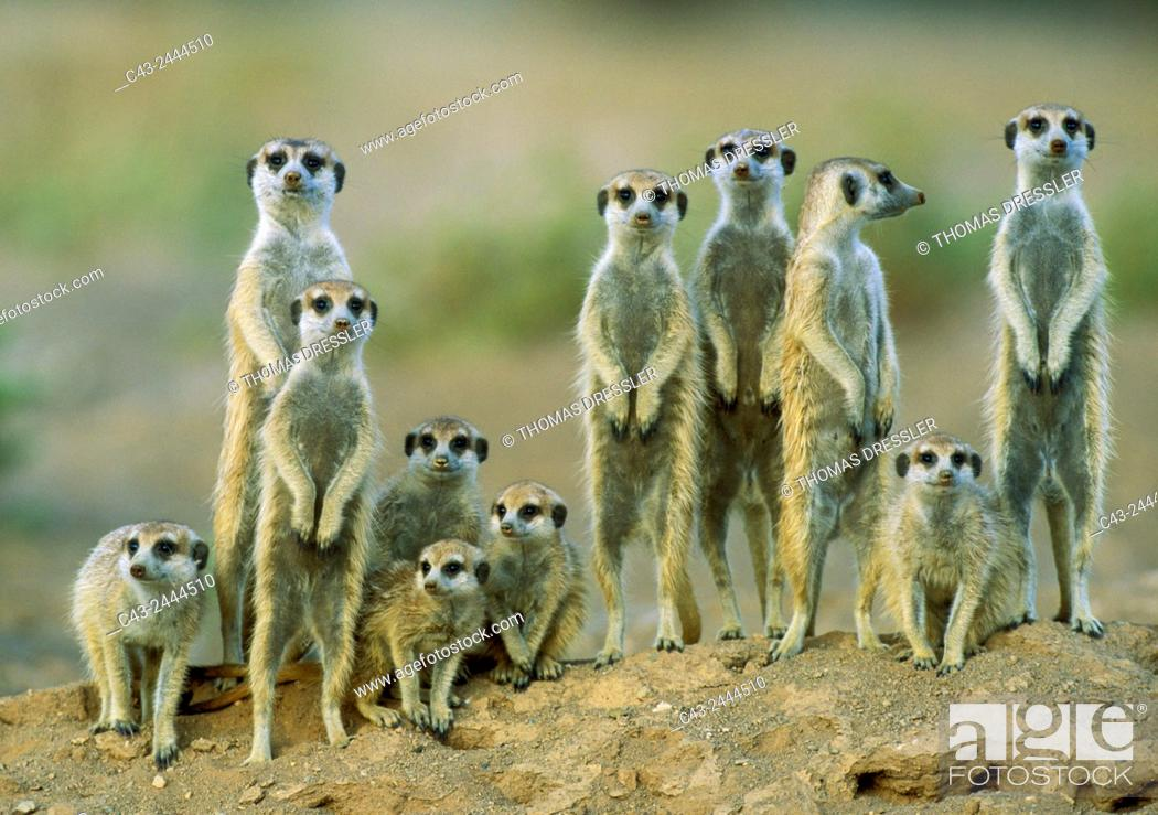 Imagen: Suricate (Suricata suricatta) - Adults with young on the lookout at the edge of their burrow. Kalahari Desert, Namibia.