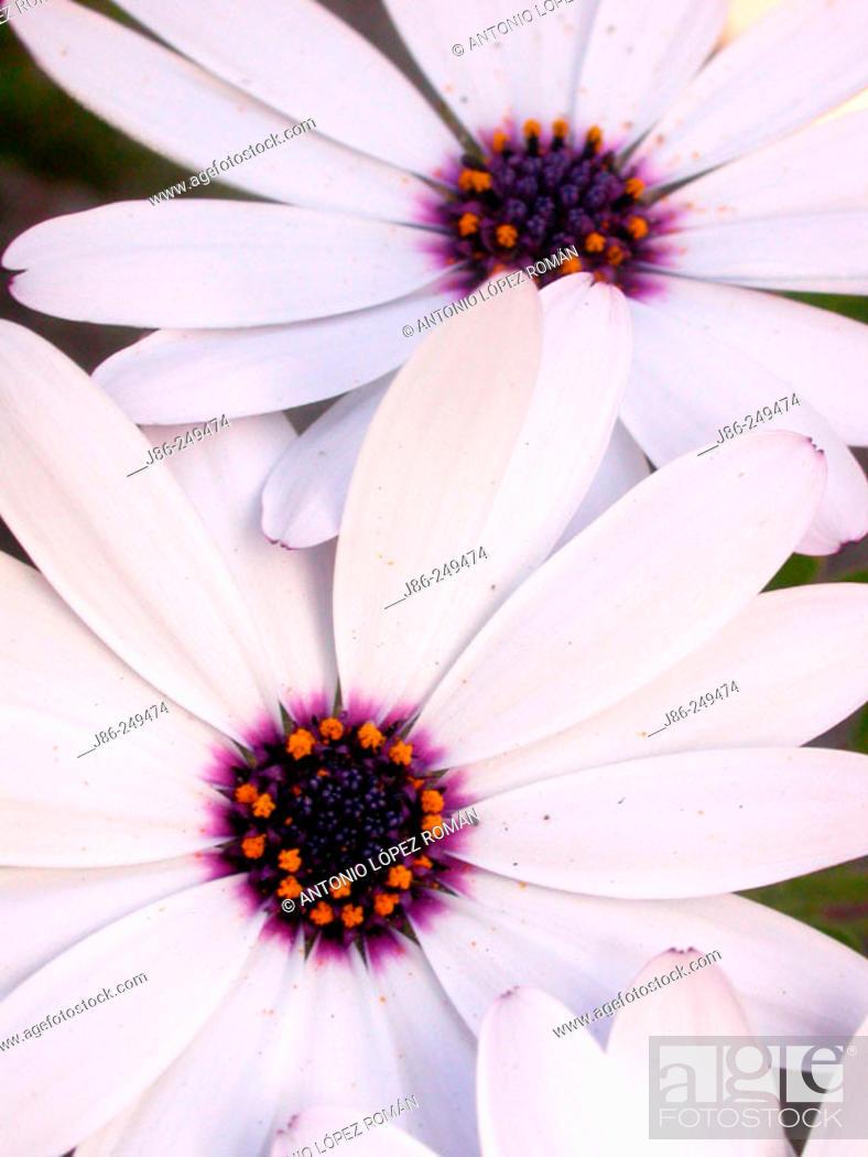 Stock Photo: Cape Marygolds (Dimorphoteca sp.).