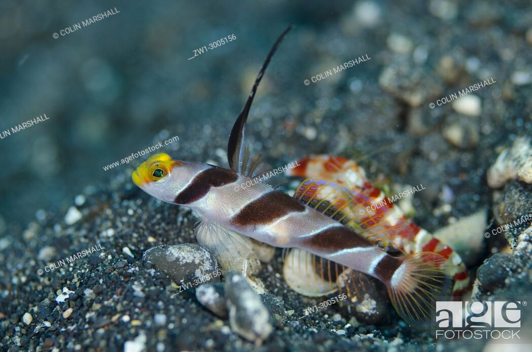 Stock Photo: Black-rayed Shrimpgoby (Stonogobiops nematodes), standing guard by hole entrance on black sand with extended dorsal spine with Randall's Snapping Shrimp.