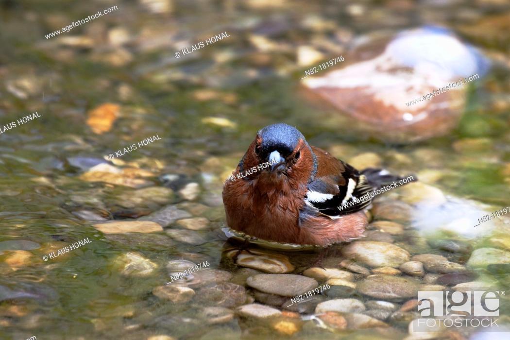 Stock Photo: Chaffinch Fringilla coelebs male bathing - Bavaria/Germany.