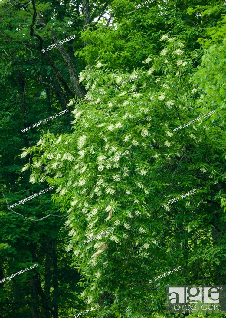 Stock Photo: Sourwood Tree in Bloom in the Great Smoky Mountains.