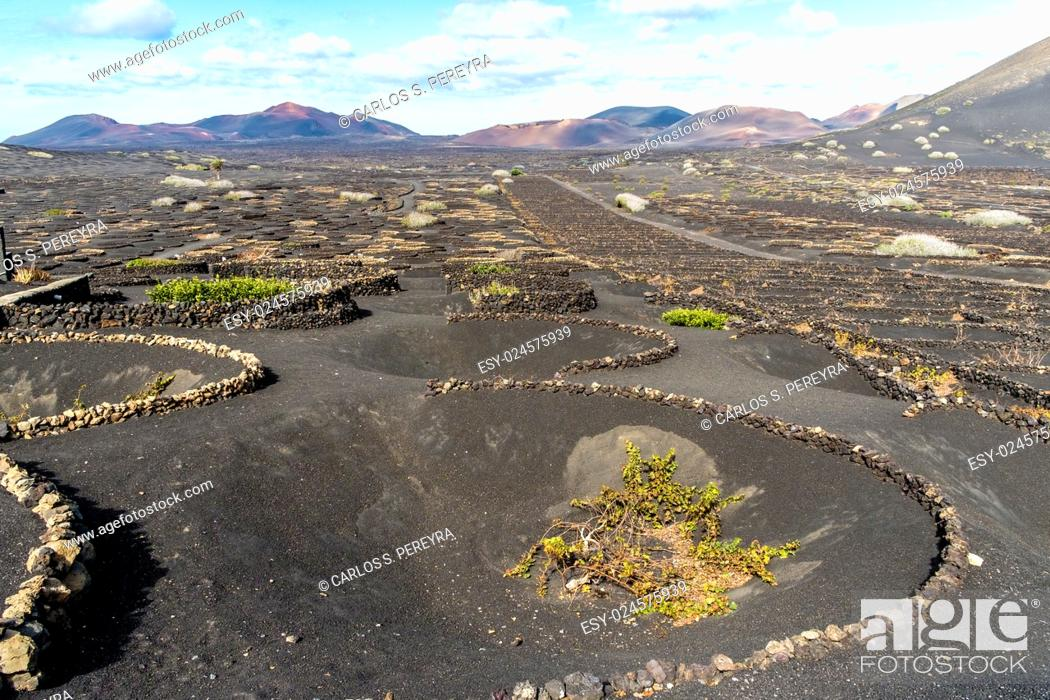 Stock Photo: Vineyards in the Geria in Lanzarote, Canary Islands, Spain.